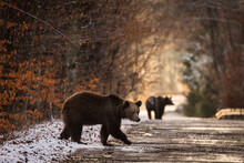 Brown Bear On The Road In The Forest Between Winter And Autumn Season