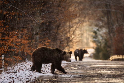Valokuva Brown bear on the road in the forest between winter and autumn season