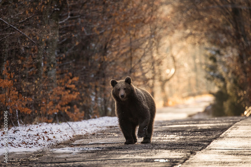 Leinwand Poster Brown bear on the road in the forest between winter and autumn season