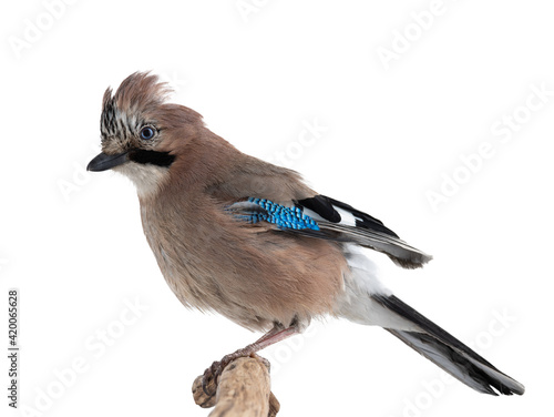 Fototapeta jay bird sits on a tree branch isolated on white background