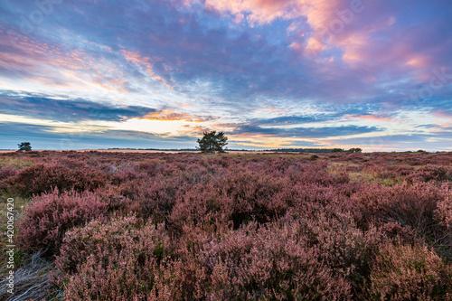 Fototapeta Colorful sunset at moorland landscape national park the Hoge Veluwe