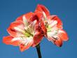 canvas print picture - Nahaufnahme von zwei roten Blüten der Amaryllis