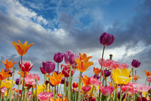 Colorful Tulips Against A Stormy Blue Sky With White Clouds