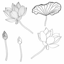 Set Of Hand Drawn Lotus Flowers And Leaves. Sketch Floral Botany Collection In Graphic Line Style Bloomed, Buds And Leaves.