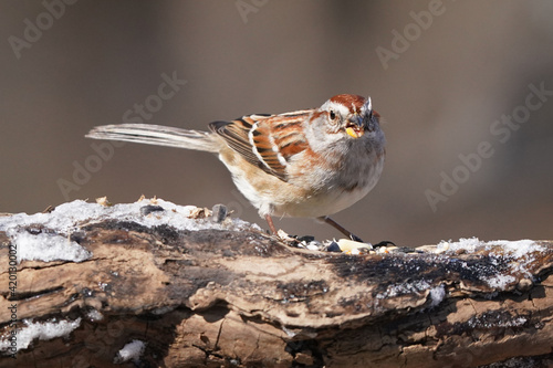 Song sparrow on snowy log in early spring in forest in nature reserve Fototapet