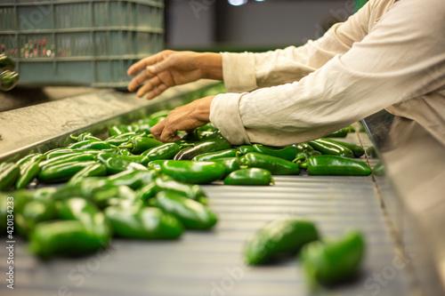 Fotografie, Obraz Manos trabajando con chiles jalapeños