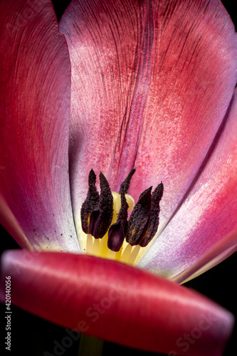 Fototapeta tulipan słupek i pręciki wnętrze kielicha obraz