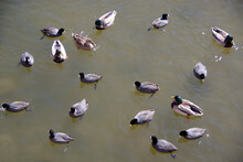 High Angle View Of Waterbirds On A City River Including Male And Female Mallard Ducks And American Coots