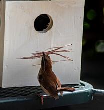 A Single Little Carolina Wren Brings Sticks To Use In Her Nest.