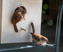 A Pair Of Little Carolina Wrens Build On Their Nest.
