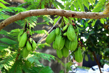 Taling Ping, Thai Fruit Has A Sour Taste.