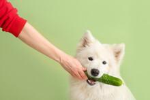 Owner Feeding Samoyed Dog With Cucumber On Color Background