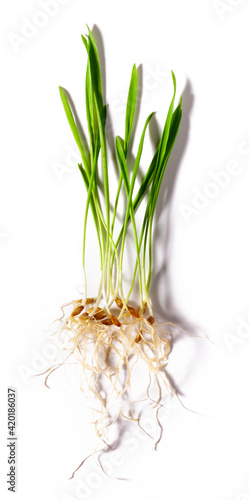 Fresh green barley grass sprouted grains with roots isolated on white background Fotobehang