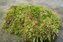 Sea Weed On The Beach Samui Island
