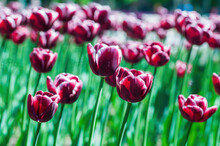Deep Red And White Colorful Tulips. Beautiful Spring Background