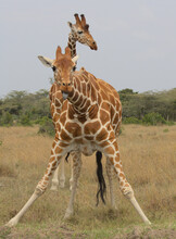 A Reticulated Giraffe Looks Up After Taking A Drink Of Water With Tongue Sticking Out Cheekily While Another Stand Guards Behind It In The Wild, Kenya
