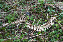 Muntjac Deer Spinal Skeleton And Lower Jaw