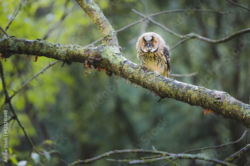 Foto Wildlife portrait in nature of a juvenile long eared owl fledgling (asio otus), perched on a tree branch