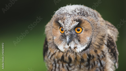 Leinwand Poster Close-up wildlife portrait in nature of a juvenile long eared owl fledgling (asio otus)