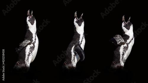 Fotografija 3 penguins isolated on black background