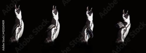 Fotografia 4 penguins isolated on black background