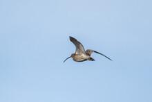 Curlews (Numenius Arquata) In Flight Against A Blue Sky