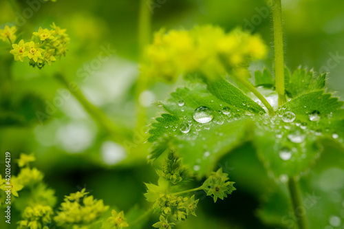 Canvas Print Alchemilla vulgaris green leaves with rain drops in summer garden