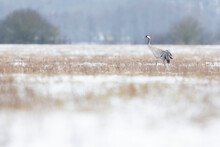 Common Crane (Grus Grus) Foraging In A Meadow With Snow.