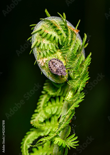 Canvas Print Close up view of a beetle that made its way along the spiral of a fern trunk to