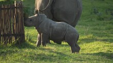 Baby White Rhino Inspects A Fence Before Running Off To Its Mother, Profile Shot.