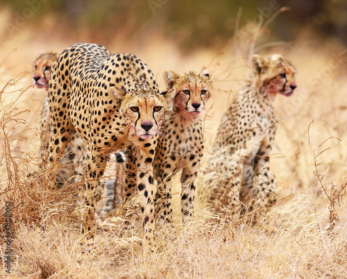 Fotografía Beautiful view of a group of cheetahs standing next to each other in the safari