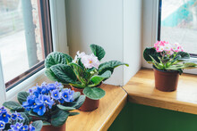 African Violet. Home Mini Potted Plants On The Windowsill. Flowering Saintpaulias. Selective Focus.