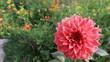 canvas print picture - Dalia flower