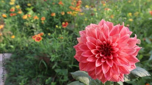 Obraz na plátne Dalia flower