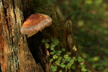 Fomitopsis Mushrooms On A Tree With Dew Drops