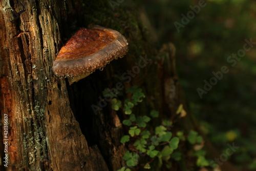 Fényképezés fomitopsis mushrooms on a tree with dew drops