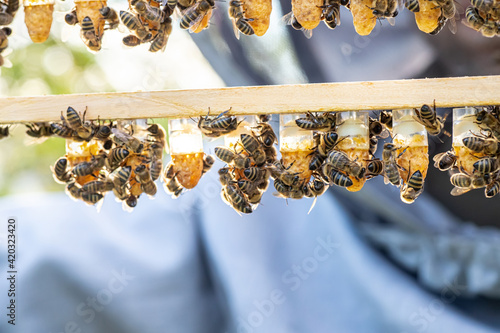 Foto Beekeeping queen cell for larvae queen bees