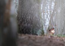Capreolus Capreolus In The Forest