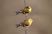 Two Male Gold Finches Perching On Plastic Wire That Holds Up Birdfeeder Waiting Turn On Feeder On Bright Sunny But Freezing Cold Late Winter Day