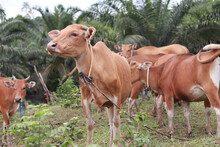 Domesticated Cattle Ox Cow Bull Banteng Sapi Bos Javanicus Eating Grass On Field, Organic Beef Farm