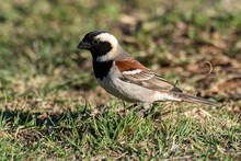 Moineau Mélanure,.Passer Melanurus, Cape Sparrow