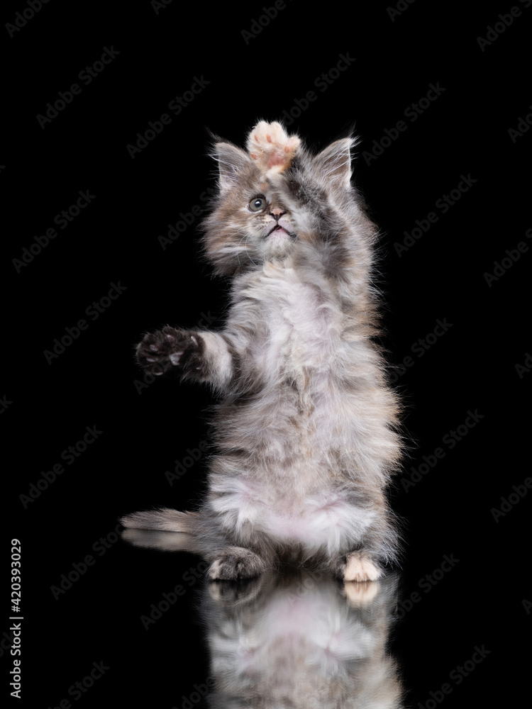 Fototapeta Maine Coon kitten on a on a black .background with reflection. Cat waving paws, playing