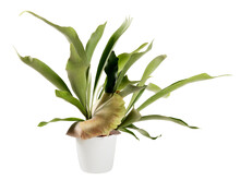Distinctive Flattened Fronds Of A Potted Staghorn Fern On White
