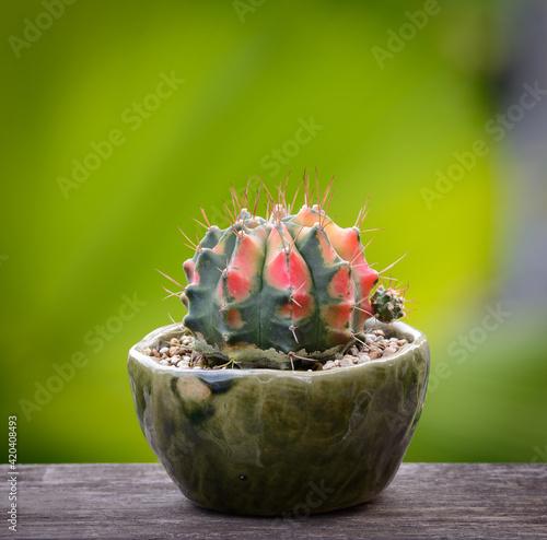 Carta da parati Lophophora williamsii, Cactus or succulents tree in flowerpot on wood striped ba