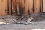 Fototapeta Zwierzęta - Jaszczurka