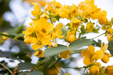 Small Yellow Flowers Senna Polyphylla Desert Cassia.