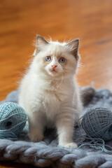 fluffy kitten on plaid. Bicolor Rag Doll Cat