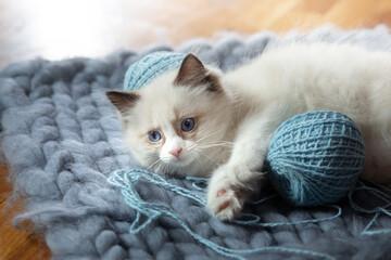 fluffy kitten on white in a plaid. Bicolor Rag Doll Cat