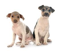 Brazilian Terriers In Studio