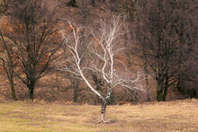 A Leafless White Birch On A Meadow